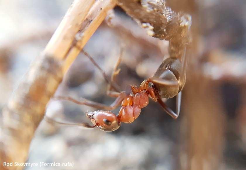 rød skovmyre