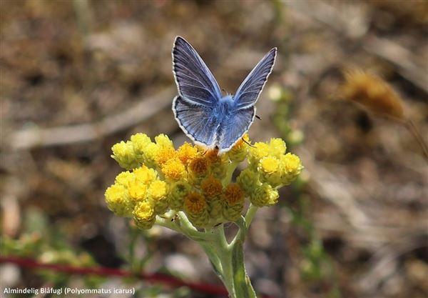 almindelig blåfugl