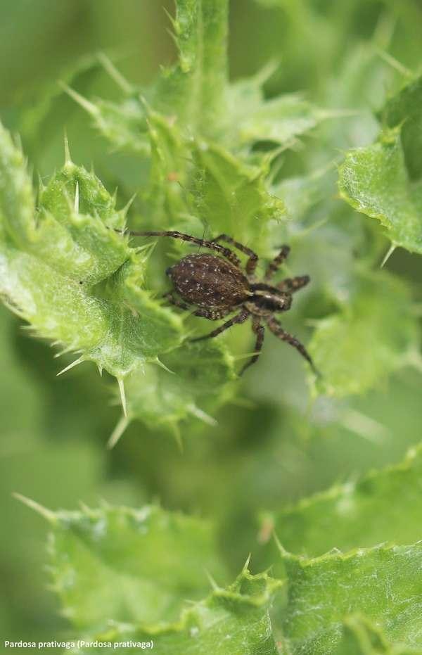 pardosa prativaga jagtedderkop