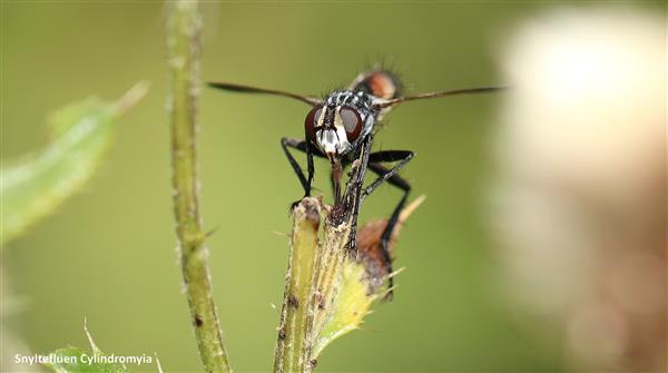 cylindromyia sp