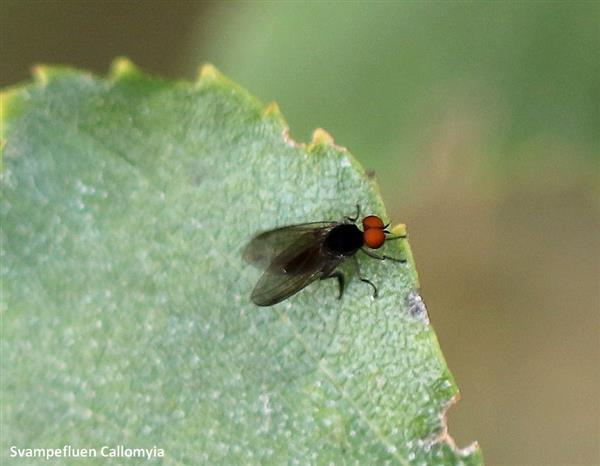callomyia sp