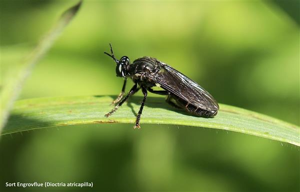 sort engrovflue