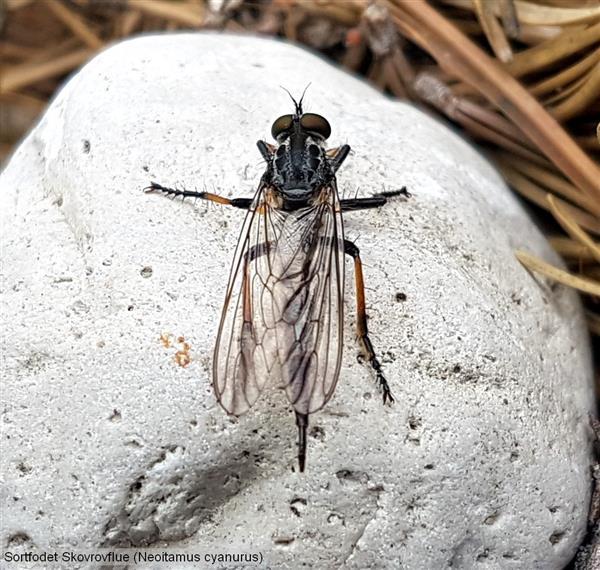 sortfodet skovrovflue